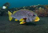 Yellowbanded sweetlips