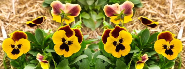 yellow pansy flowers garden border