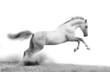 Leinwanddruck Bild - silver-white stallion on black