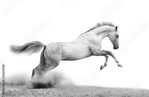 Leinwanddruck Bild silver-white stallion on black