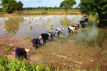 Cooperation in jasmine rice field