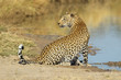 Male leopard at a waterhole, South Africa