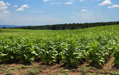 piantagione di tabacco (tobacco plantation)