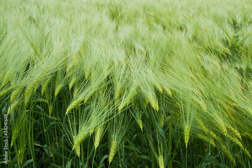 Barley field in summer day