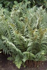 Wurmfarn; Dryopteris filix-mas