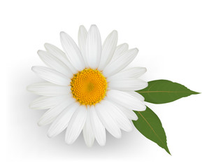 Beautiful daisy flower with leaves. Vector.