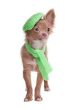 Chihuahua puppy wearing green beret and scarf
