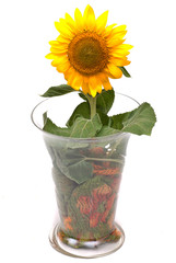 sunflowers in a vase studio cutout