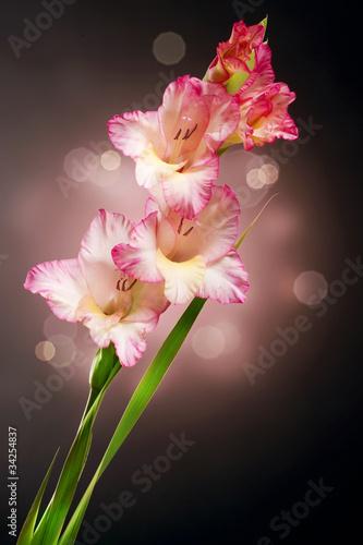 mieczyk-kwiatowy-gladiolus