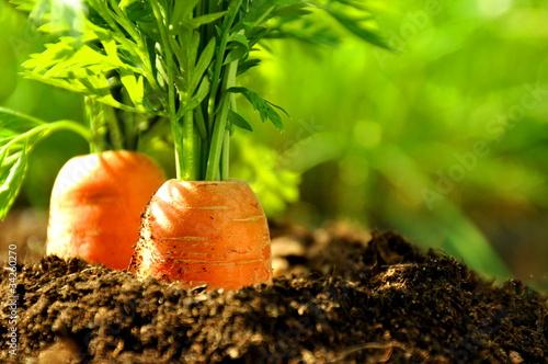 Karottenbeet - 34260270