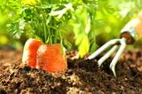 Karotten im Gemüsegarten