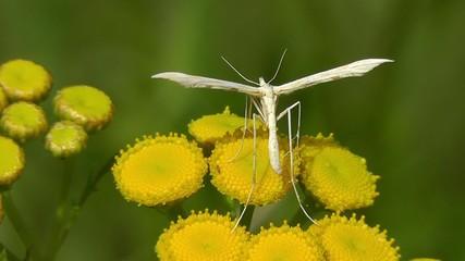 Federgeistchen - Alucitidae
