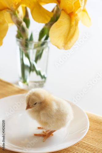 Little yellow chick on a white plate and iris flowers