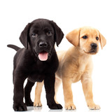 Fototapety two cute labrador puppies