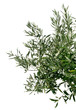 Young olive tree branch
