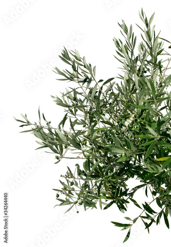 Poster Olijfboom Young olive tree branch