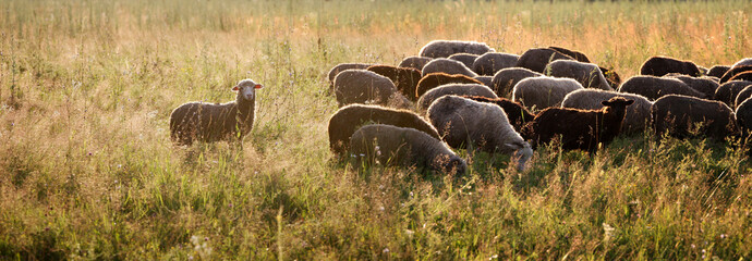 sheep graze in the pasture