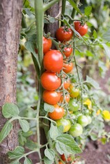 fresh sweet cherry tomato plant