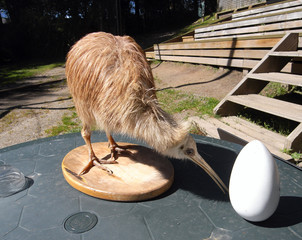 Kiwi bird and egg