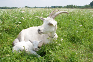 Goat with a newborn kid.