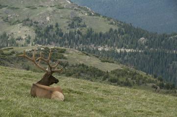 Sitting Elk
