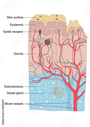 Human skin anatomy illustration