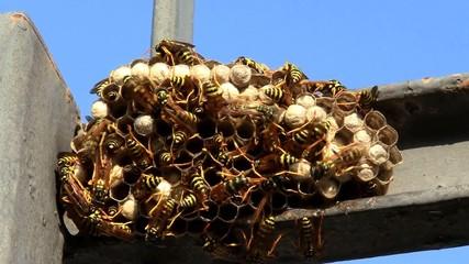 Nido di vespe-Wasp nest