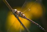 Dragonfly Aeshna mixta or Migrant hawker poster