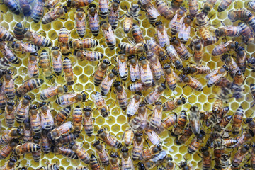 Honey comb and working bees