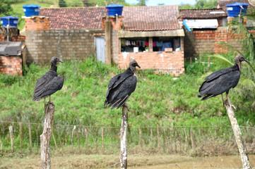 tre avvoltoi su tre paletti
