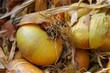 oignons,légumes,alimentation,potager,récolte
