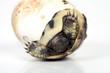 Schlafendes Schildkrötenbaby