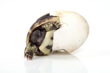 Schildkröte im Ei
