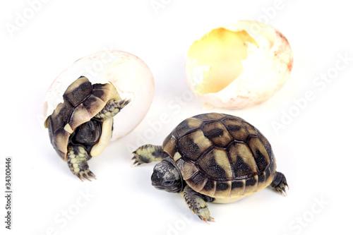 Zwei junge Schildkröten