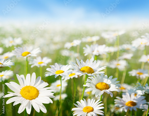 Naklejka field of daisy flowers