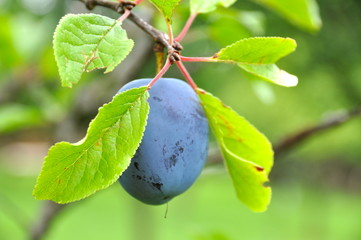 nice plum on plum-tree