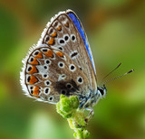 Butterfly (Due Lycaenidae)