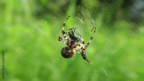 Spider swaddles the victim