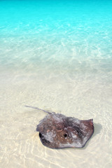 stingray Dasyatis americana in Caribbean beach