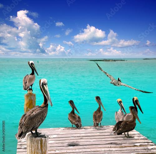 Caribbean pelikan turkus morze plaża tropikalnych