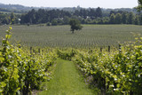 Rows of vines in English Vineyard