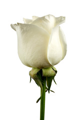 White rose flower close-up isolated