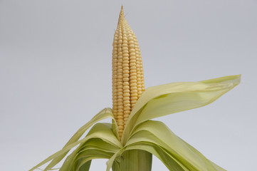 Corn On The Cob