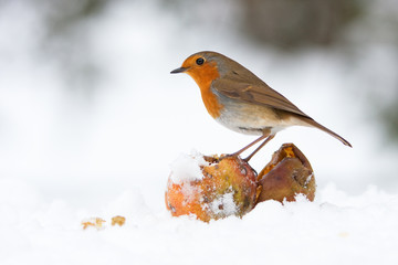 Christmas Robin Redbreast with Apples in Winter Snow