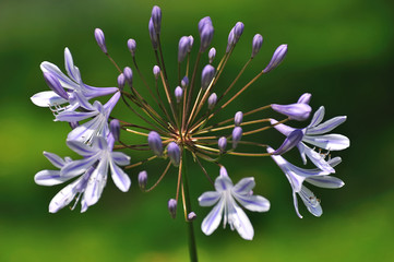 Blue flowering Agapanthus plant against a green background