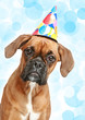 German Boxer puppy in party hat