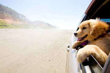 Puppy looking out the window of a car