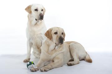 deux labradors à l'allure digne