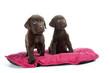 couple de jeunes labradors sur un tapis