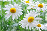 daisy - Fine Art prints